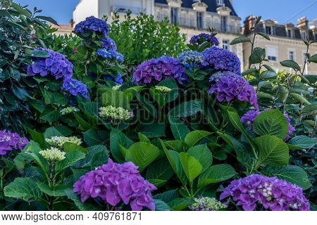 Bright Hydrangea Violet And Purple Trendy Color. Spring Fashion. Green Leaf. Hight Quality Photo
