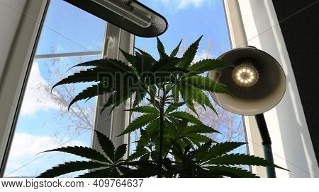 Overgrown Cannabis Bush On An Indoor Windowsill, Fed By Sunlight And Additional Lighting From Energy