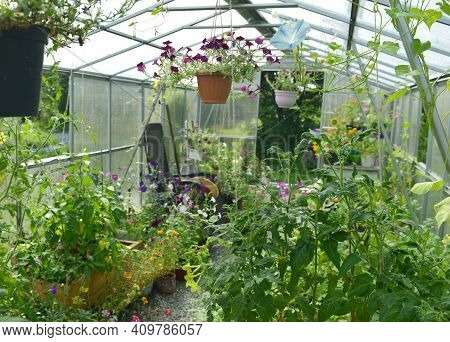 Petunia Flowers In Hanging Pots, Tomato Plant In Wooden Boxes In Greenhouse.  Vintage Botanical Back