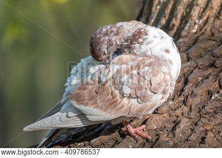 White And Brown Pigeon Cleans Its Featers. Domestic Pigeon Bird And Blurred Natural Background.