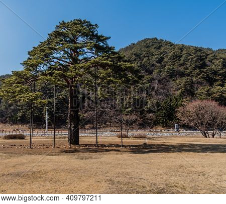 Jeongipumsong Pine Tree Over 600 Years Old With Height Of 14.5m, At Entrance To Songnisan National P