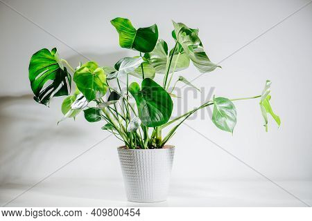 Image Of A Beautiful Healthy Monstera Plant In A Pot. Top Leaves Are Holed