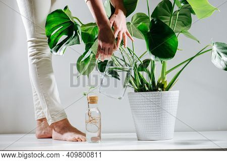 Reaching Beautiful Healthy Monstera In A Pot On The Floor, Watering It
