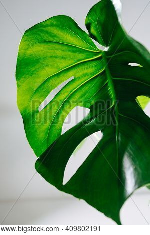 Big Holed Monstera Leaf, Light Shining Through Top Part Of It.
