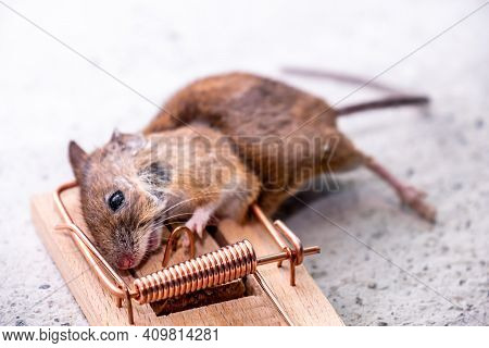 Mouse Trapped In Mouse Trap In The Shed