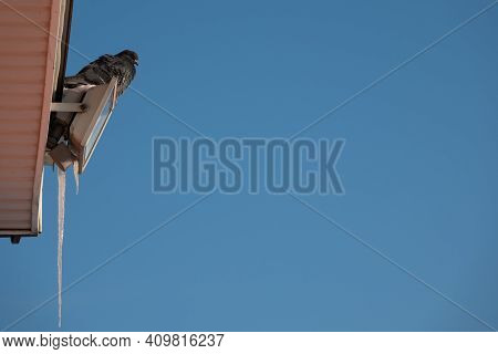 Pigeon Or Dove On Roofs. Pigeons Fly Near The Wooden House In Search Of A Place To Nest, Blue Sky On