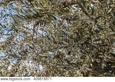 Olive Oil Trees Full Of Olives. Harvest Ready To Made Extra Virgin Olive Oil. High Quality Photo