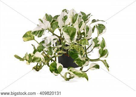Full Tropical Pothos Houseplant With Botanic Name Epipremnum Aureum N'joy' With White And Green Vari