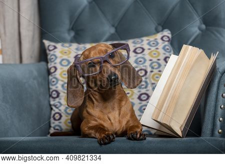 Dachshund, Wearing Stylish Reading Glasses, Lies In A Comfortable Chair And Looks Carefully Towards