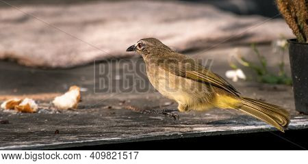 White-browed Bulbul Going For Food Put For Backyard Birds. Leaping In The Air Side View.