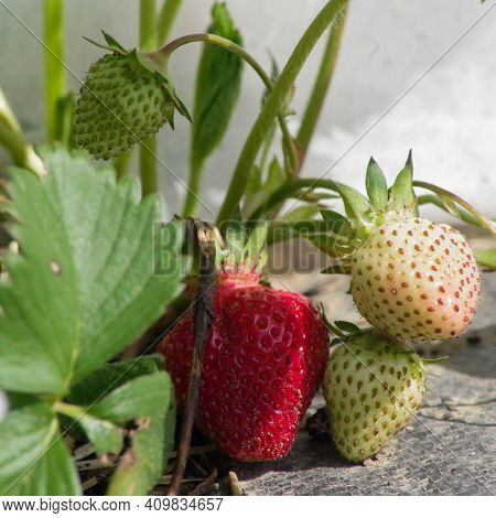 Beautiful Strawberries, One Red And Three White And Unripe Catch Rays Of Sunshine From Under The Whi