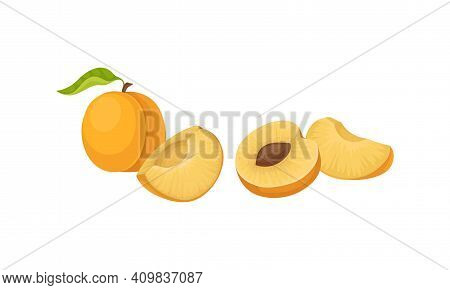 Orange Round Apricot Drupe Fruit Showing Firm Flesh And Kernel Vector Set