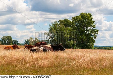 Country Cows Resting In A Field At Noon.