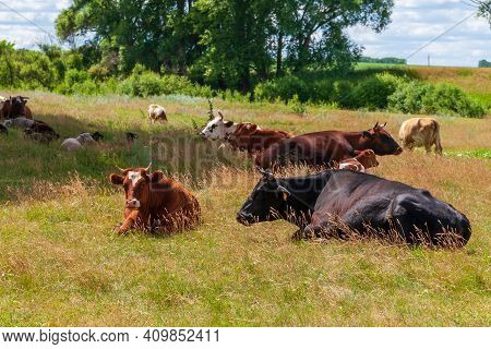 The Village Cows Lay Down To Rest At Noon In The Shade Of The Trees.