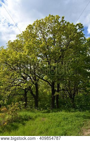 Spring Landscape In Russia. Oak Trees And Green Grass On The Edge Of Forest