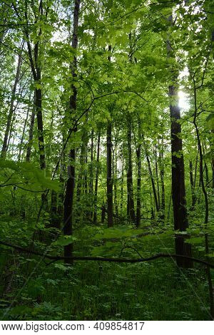 Green Forest With Maple And Birch Trees In Summer
