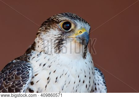 Saker (saqr) Falcon (falco Cherrug) Hybrid Mix Head Shot Very Close Up. Falconry Or Keeping Falcons