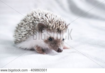 Decorative Dwarf African Hedgehog At Home. Hedgehog As A Pet. Horizontal Photo With Low Depth Of Fie