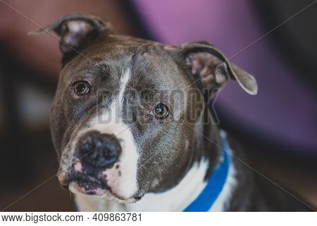 Adult Pitbull Terrier Male Gets A Close Up With A Shallow Depth Of Field Background
