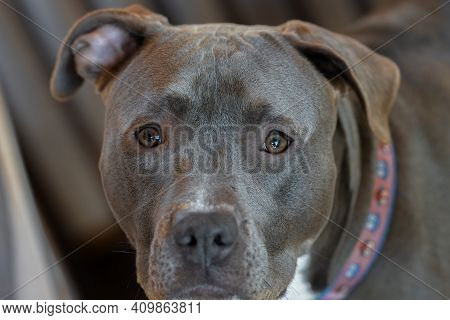 Pitbull Puppy Closeup Of A Female That Is Looking At You