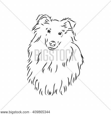 Dog Rough Collie Isolated On White Background. Vector Illustration. Collie, Vector Sketch On A White