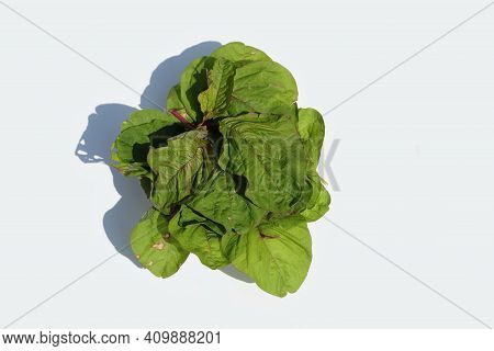 Top View Of Amaranthus Dubius Or Red Spinach Leafy Vegetable Isolated On White Background