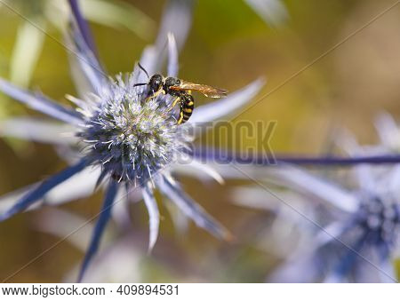 Wasp. A Small Wasp Sits On A Flower Of A Blue Thorny Plant. Prickly Eryngium Caeruleum, Yellow-belli
