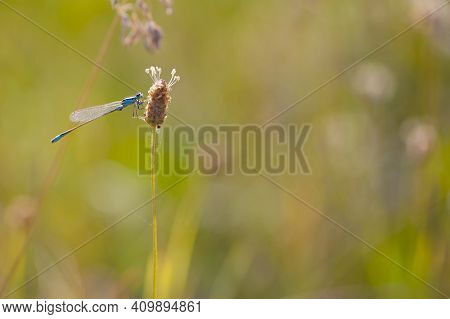 Coenagrionidae. Little Blue Dragonfly Sitting On A Plant In Field. Beautiful Dragonfly In The Meadow