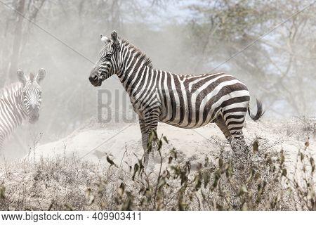 Plains Zebra (equus Quagga) In A Dusty Wood