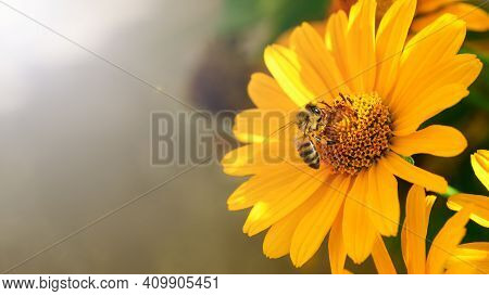 Bee And Flower. A Bee Collects Honey From A Flower, Close Up. Macro Photography. Summer And Spring B
