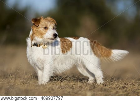Beautiful Obedient Purebred Jack Russell Terrier Dog Standing, Listening In The Grass. Spring, Summe