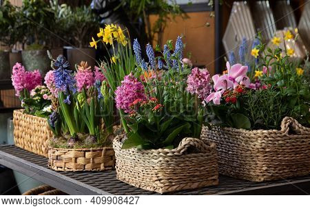 Happy Spring Mood Baskets Of Bright Flowering Plants Such As Hyacinths, Daffodils, Mint, Kalanchoe I