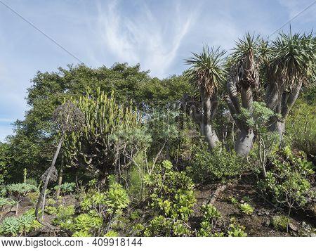 Various Cacti At Cactus Part Of Botanical Garden, Jardin Botanico Canario Viera Y Clavijo, Tafira, G