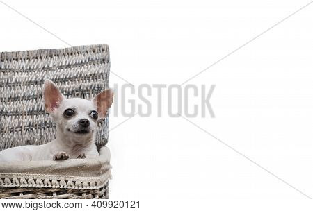 Chihuahua Lies In A Large Wicker Laundry Basket Looking Up And Smiling On A White Background. Studio