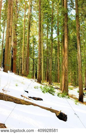 Alpine Meadow Covered With Snow Surrounded By An Alpine Pine Forest Taken In The Sierra Nevada Mount