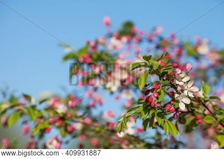 Beautiful Flowering Fruit Trees. Blooming Plant Branches In Spring Warm Bright Sunny Day. White And