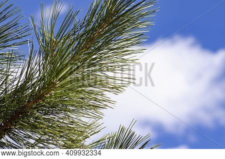 Lush Green Pine Bough Against Blue Sky
