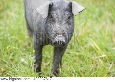 Black Iberian Piglet Running Free Through The Tall Grass. Badajoz Province, Extremadura, Spain