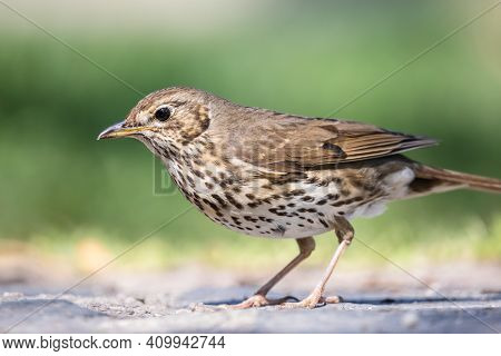 Close Up Song Thrush Portrait. Wild Passerine Bird Turdus Philomelos With Brown Wings And Spotted Cr