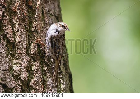 Common Treecreeper Perching On The Tree Trunk. Little Passerine Bird With Brown Patterned Plumage, L
