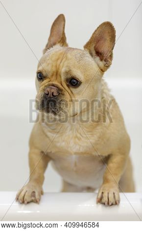 Sad Wet Clean Frenchie Ready To Come Out Of Bathtub. Young Male French Bulldog Standing On Bathtub A