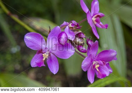Purple Pink Orchid With Yellow Stems In Tropical Jungle, Abstract Background That Is Shallow Focus F