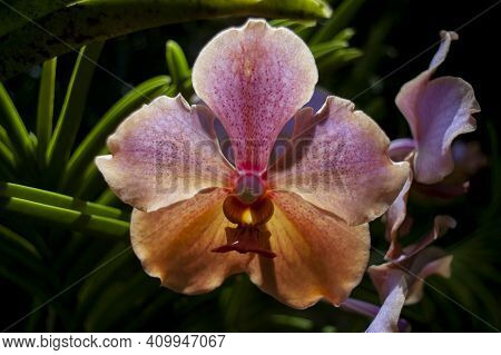 Pink And Orange Orchid In Caribbean Tropical Setting, Bright Punchy Colors, Rare.