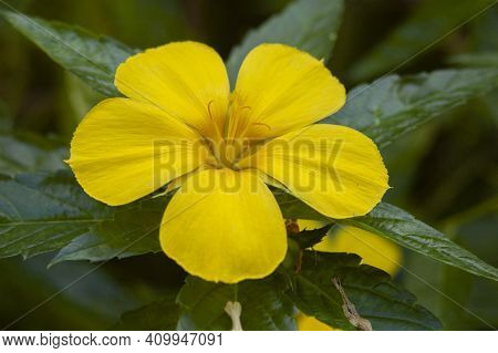 Bright Yellow Tropical Caribbean Flower, Bitter Gourd With Abstract Background.