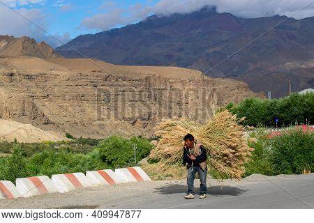 Mulbekh, Ladakh, India - 2nd September 2014 : Hard Working Ladakhi Man Carrying Long Grasses On The