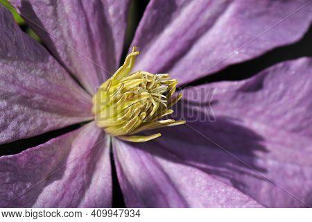 Macro Of A Purple Clematis Stigma And Stamen