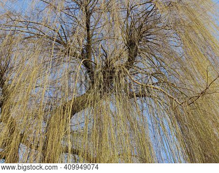 Leafless Weeping Willow Tree With First Buds Appearing In Early Spring, View Upwards From Below