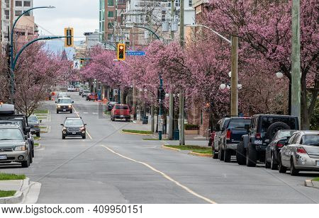 Victoria, British Columbia, Canada - February 08 2021 - Cherry Blossoms In Early February In The Cit