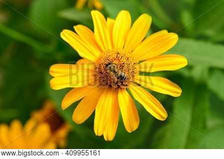 Bee And Flower. Close Up Of A  Striped Bee Collecting Pollen On A Yellow Flower On A Sunny Bright Da