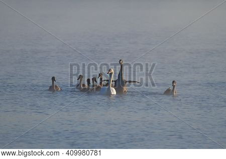 Mute Swan, Cygnus Olor. In The Early Morning, A Family Of Swans Floats On The River In The Fog